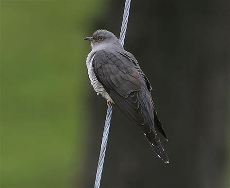 Bird Quizzes - Crows and Cuckoos