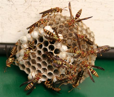 Georgia Bee Removal - Paper Wasp