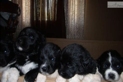 Meet BayBay a cute Newfoundland puppy for sale for $950