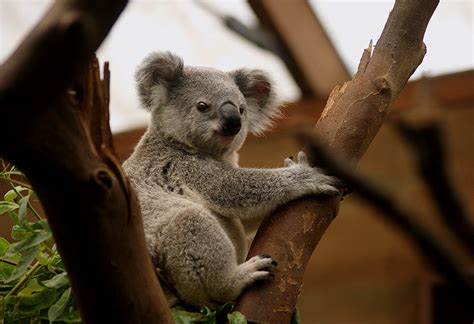 Did koalas catch killer Chlamydia from sheep? - Curious