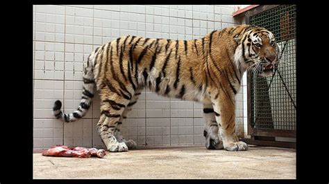 Fate of Amur Tiger to Be Decided in 2016 | Financial Tribune