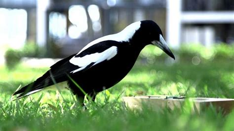 Living Together Makes Australian Magpies Smarter   IFLScience