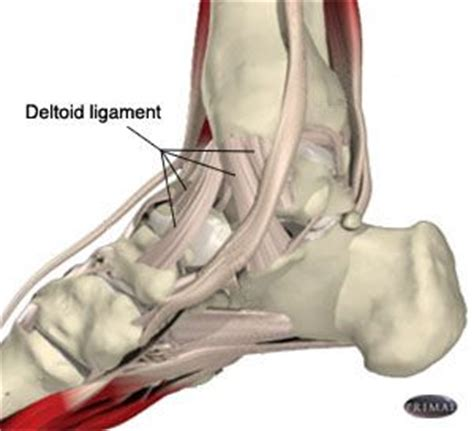 Deltoid ligament: between medial maleolus of tibia with