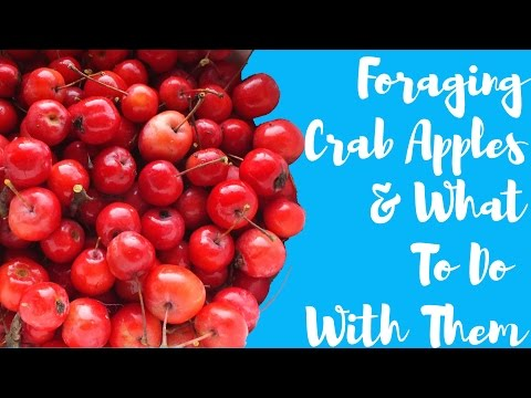 The Urbane Forager: In Praise of Crab Apples