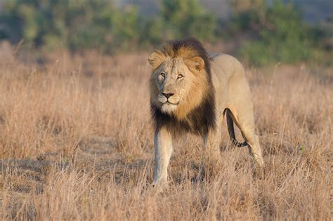 3 Alleged Poachers Eaten by Lions in South Africa