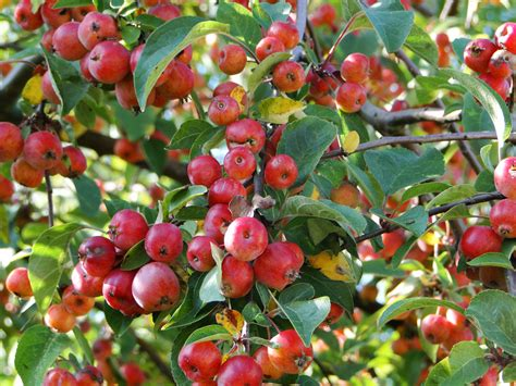 The Year of the Tree – My Crab Apple   wellywoman