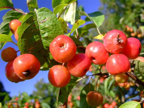 More Than Today: Crab Apples For Eating