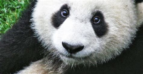 Giant pandas removed from the endangered species list in